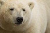 Where polar bears live