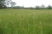 Rhode Grass!!