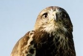 This is a Buzzard
