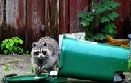 Raccoon in the city