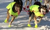 http://upload.wikimedia.org/wikipedia/commons/b/bb/Iditarod_dogs_in_style.jpg