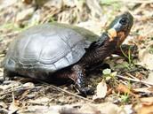 Bog Turtle (Land)