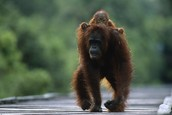 Orangutan playing with its young
