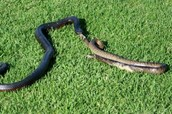 The Red bellied black snake is eating others snakes