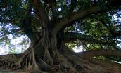 Ombu Trees