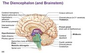 Dincephalon
