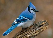 Provincial Bird
