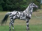 caballo   popular