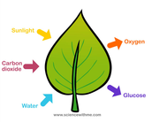 facts about photosynthesis