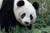 Characteristics of the Giant Pandas