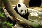 panda's body
