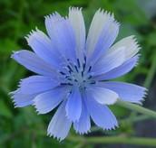 Il Fiore - Chicory