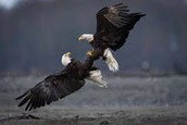 The eagles are fighting.