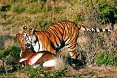 #3 what a tiger  eats