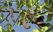 חרוב מצוי הינו מין של עץ רחב נוף מסוג חרוב, מתת המשפחה כליליים שבמשפחת הקטניות.