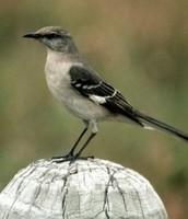 Tennessee's state bird.