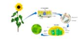 Chloroplasts Diagram