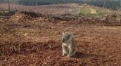 A sad koala bear when humans came and destroyed its habitat.