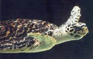 Brackish Water Turtle