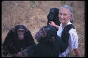 Jane Goodall with her Chimpanzees