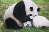 Panda's Playing