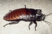 Cockroach or Macropanesthia Rhinoceros