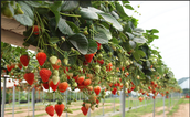 How Far Away Should you Plant your Strawberry's from Each Other?