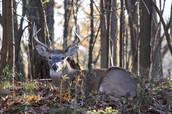 Elf Deer