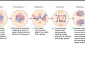 Mitosis and Phases of Mitosis