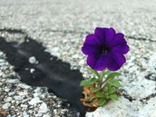 A flower growing through concerete