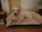 My Yellow Labrador Retriever named Daisy