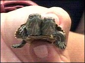Conjoined Turtle