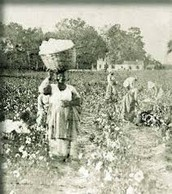 Slaves picking out Cotton