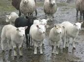 The first farm animals