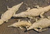 Do crocodiles come in different colors?