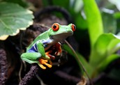 A tree frog in the Upper Amazon rainforest of eastern Ecuador