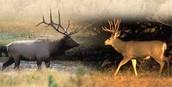 Deer and elk