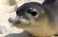 A Hawaiian Monk Seal