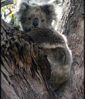 Koala Bear Stuck in a Tree