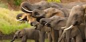 Elephants in Botswana