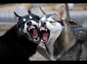These are two husky's fighting