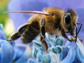 How honey bees impact our plants and crops?