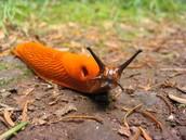 A Splendid Orange Slug