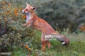 A fox eats his fill on berries