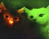 Glowing Cats?