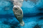 West Indian Manatee (sea cow)