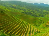 Chinese crops