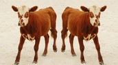 What is Cloning Livestock? How is it Done?