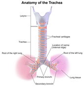 Larynx and Trachea