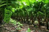 Agricultura de plantación.